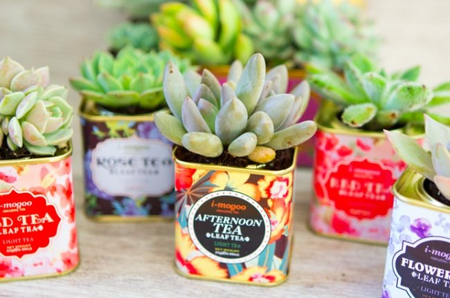 Vintage Tea Tin Succulents